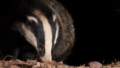 Badger hunting out its next meal (Thomas Winstone) Tags: badger mammal canonuk canon 300mm28mk2 wild animal uk outdoors wildlife nature countryside outdoor thomaswinstonephotography bbc springwatch bbcspringwatch mammals forest forestry canon1dxmark2 3lt 3leggedthing nationalgeographic earth soil fur claws