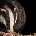 Badger hunting out its next meal (in Explore 25-03-19) thumbnail