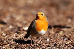Robin. (Chris Kilpatrick) Tags: robin chris canon canon7dmk2 outdoor wildlife nature animal bird edinburgh botanicgardens sigma150mm600mm sigma scotland signsofspring springwatch march