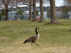 Out For A Stroll In The Lawn. (dccradio) Tags: lumberton nc northcarolina robesoncounty outdoor outdoors outside nature natural goose geese canadagoose canadageese grass lawn yard ground bird waterfowl tree trees greenery branch treebranch treebranches treelimb treelimbs march spring springtime sunday sundaymorning morning goodmorning sony cybershot dscw830 sky overcast cloudy animal wildlife