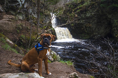 "Archie the boxer dog visits Linn of Ruthrie (Linn Falls) on the Aberlour Burn, Aberlour, ""Charleston of Aberlour"", ""Obar Lobhair"", Moray, Scotland (grumpybaldprof) Tags: aberlour ""charlestonofaberlour"" ""obarlobhair"" moray scotland 1654 ""aberlourdistillery"" ""linnofruthrie"" ""linnfalls"" ""aberlourburn"" ""riverspey"" ""walkersshortbread"" ""lourburn"" ""jamesfleming"" 1879 archie boxer young dog ""boxeradolescent"" ""boxerdog"" canine cute"