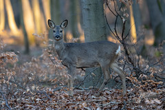 Roe Deer (fascinationwildlife) Tags: animal mammal wild wildlife winter nature park nymphenburg schloss natur roe deer deutschland reh doe female leaves tree forest wood wald morning germany europe bayern bavaria munich münchen urban