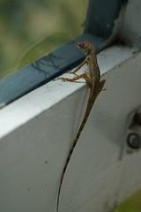 looking out (thomas.erskine) Tags: 20190227dsc02567tee 2019 lizard window barbados