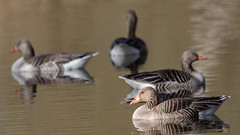 Greylag Geese (crub2016) Tags: grågås greylaggoose geese canon 7d mark ii ef 400mm f4 do is