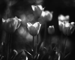 Tulips 3 (Vidwatts) Tags: springflowers speedgraphic aeroektar fp4 perceptol11
