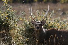Sika Deer at Arne - Dorset 080318 (7) (Richard Collier - Wildlife and Travel Photography) Tags: wildlife mammals sikadeer rspbarne dorsetwildlife naturalhistory nature