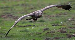 Steppenadler / Steppe Eagle (Aquila nipalensis) (uwe125) Tags: animal bird birdofprey steppenadler greifvogel springe wisentgehege falkenhof steppeeagle