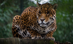 Jaguar (nathalie beauchamp) Tags: félins moustaches yeux pelage jungle puma animaux animal regard zoo zooparcdebeauval zooparc nikon