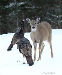 Wild Turkeys and White-tailed Deer (Frank Mantlik) Tags: adirondackpark meleagrisgallopavo odocoileusvirginianus whitetaileddeer wildturkey winter
