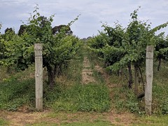 Vines (koukat) Tags: road trip viaje travel south australia sa coonawarra wine region drive driving wineries bodegas cata vino tasting penola limestone coast