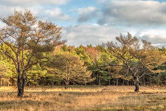Bergvennen_Niederlande_IMG_1449 (milanpaul) Tags: 2018 baum bergvennen brand dezember grenze grenzregion kiefer landscape landschaft lattropbreklenkamp nsg natur naturschutzgebiet niederlande