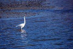 Egret (Fido Cat) Tags: nature frippisland southcarolina birds storks woodstork herons greenheron midnightheron egret