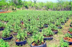 Swiss company eyes Jamaica's ganja industry (good news Jamaica) Tags: cannabis ganja jamaica marijuana