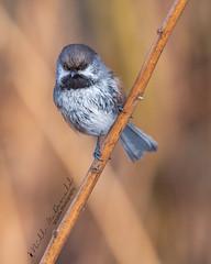 Boreal Chickadee (Bill McDonald 2016) Tags: chickadee boreal borealchickadee ontario 2019 billmcdonald perched perching winter cute wwwtekfxca nature wildlife avian birds birding