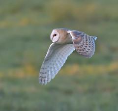 Barn Owl (KHR Images) Tags: barnowl barn owl tytoalba wild bird birdofprey cambridgeshire fens eastanglia wildlife nature nikon d500 kevinrobson khrimages