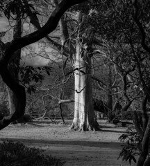 Enchanting, Mysterious with a hint of Intrigue (PSHiggins) Tags: bodnant garden bodnantgarden conwy conwyvalley valeofconwy nikon bw trees park nationaltrust bark bough leaves beech mature light mysterious