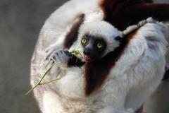 Baby Browse Eater (greekgal.esm) Tags: coquerelssifaka sifaka lemur prosimian primate animal mammal babyanimal losangeleszoo lazoo losangeles griffithpark sony rx10m4 rx10iv
