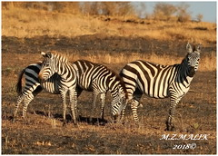 HERD OF COMMON ZEBRAS (Equus burchelli).....MASAI MARA.....SEPT 2018 (M Z Malik) Tags: nikon d3x 200400mm14afs kenya africa safari wildlife masaimara keekoroklodge exoticafricanwildlife zebras ngc npc