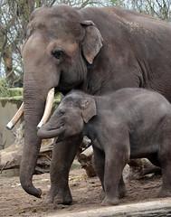 asiatic elephant Nicolai en  sanuk artis 094A0305 (j.a.kok) Tags: olifant asiaticelephant aziatischeolifant animal artis asia ape elephant mammal zoogdier dier nicolai sanuk