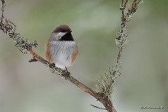 "Not just a ""Chickadee"" (Earl Reinink) Tags: bird chickadee borealchickadee outdoors nature wildlife winter boreal songbird earlreinink eriuoaadoa"