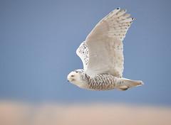 Snowy Owl in flight Jan 2019_643 (Archie Richardson) Tags: snowyowl alberta 2019