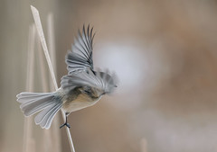 Letting go (RG Rutkay) Tags: blackcappedchickadee lyndeshoresconservationarea birds natural nature wildlife flight motion wings bokeh