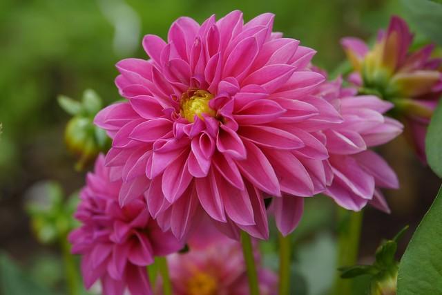 Обои Georgina, георгины, Bokeh, Розовый цветок, Pink flower картинки на рабочий стол, раздел цветы - скачать