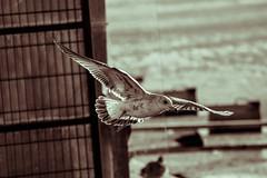 Lokki (TheSaOk) Tags: lintu linnut birdlife bird birdwatch birdlover yleluonto luontokuva wildlife