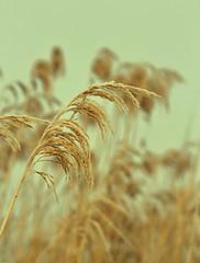 Gefrorenes Gras (olds.wolfram) Tags: natur nature gras gefroren licht rolleinar