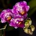 """Phalaenopsis Sogo Vivien """"Wilson"""" – Alex Nadzan"""