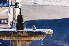 NELLA FONTANA   ---   IN THE FOUNTAIN (Ezio Donati is ) Tags: panorama landscape storia history uccelli birds acqua water italia canalemonterano lazio