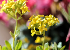 yellow kalanchoe (Christine_S.) Tags: bright canon flowers widowsthrill eos 50mmf18 mirrorless japan m5 ngc npc yellow bokeh
