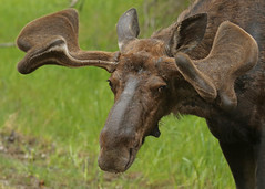 Bull Moose...#13 (Guy Lichter Photography - 4.7M views Thank you) Tags: canon 5d3 canada manitoba rmnp wildlife animals mammals moose bull male