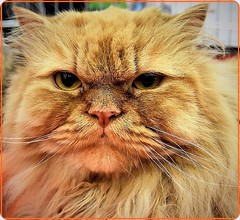 Portrait of a cat (Ioan BACIVAROV Photography) Tags: cat chat animal portrait pisica cats eyes fisheye