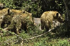 hyenas (Crocuta crocuta) (viliris) Tags: crocutacrocuta hyena wildlife wildanimals safari eating herd masaimaranationalreservekenya masaimaranationalparkkenya savannah africa kenya
