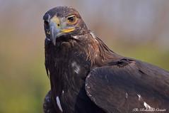 Aquila reale _003 (Rolando CRINITI) Tags: aquila aquilareale uccelli uccello rapaci ornitologia avifauna santalessio cattività