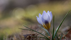 "(Light Echoes) Tags: sony a7ii tamron90mmf28 macro bokeh 2019 winter february garden lawn flower bloom blossom crocus ""sonyflickraward"