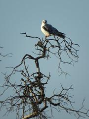 White-tailed Kite (stonebird) Tags: whitetailedkite elanusleucurus ballonawetlandsecologicalreserve areaa march img1233