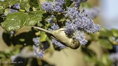 Bushtit (Bob Gunderson) Tags: birds bushtit california goldengatepark northlake northerncalifornia psaltriparusminimus sanfrancisco
