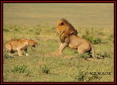 TENSE MOMENT BETWEEN THE KING OF JUNGLE AND THE LIONESS  (Panthera leo)....MASAI MARA....SEPT 2017 (M Z Malik) Tags: nikon d3x 200400mm14afs kenya africa safari wildlife masaimara keekoroklodge exoticafricanwildlife exoticafricancats flickrbigcats leo pantheraleo lionking lioness ngc npc