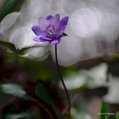 Fleur dans les reflets (jpto_55) Tags: fleur hépatique bokeh proxi fuji fujifilm xt20 kiron105mmf28macro hautegaronne france