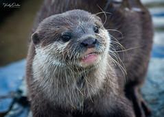 🇬🇧 Otter (Explored 23/03/19) #167 (vickyouten) Tags: otter otters nature naturephotography wildlife britishwildlife wildlifephotography nikon nikond7200 nikonphotography nikkor55300mm martinmere burscough uk vickyouten