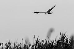 in volo (anna barbi) Tags: rapace uccello erba