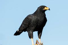 Common Black Hawk (Globalbirder) Tags: gulfofmexico mexico yucatan campeche travelphotography pictravelvacationfernwehgulfofmexiconatureyucatan
