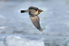 Alouette hausse-col ----------   Horned lark ----------  Alondra cornuda (Jacques Sauvé) Tags: alouette haussecol horned lark alondra cornuda oiseau bird ave winter hiver invierno stisidore québec canada