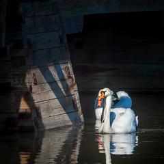Swan Couple (Mikael Neiberg) Tags: matingdisplay mating couple marriage swan swans bird naturesbeauty nature wildlife nikon nikoncamera nikkor80200mmf45ai nikkor nikkorlens telephoto kenko2xmacroteleplusmc7 water sea shore seurasaari helsinki finland finnishnature