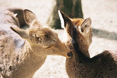 Come here (GingerKimchi) Tags: nara osaka japan travel nature asia film 35mm fujifilm canon deer canona1 2019 spring february march