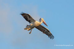 Pelican - Prepared for landing (Peter.Stokes) Tags: australia australian colourphotography colour fauna landscape bird nature native outdoors photography photo vacations flight flying wildlife landscapes pelican pelicans bigbird birds