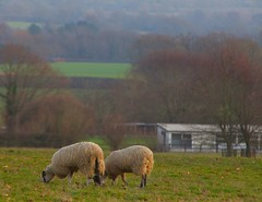 Winter Weald Kent (Adam Swaine) Tags: sheep flockofsheep kent kentweald kentishlandscapes england english englishlandscapes theweald countryside counties uk ukcounties rural ruralkent animals farming canon 2019 fields kentfields englishfields winter trees