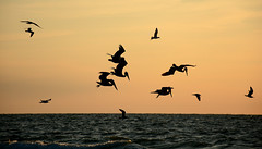 Florida_2019__8227 (newspaper_guy Mike Orazzi) Tags: pinellascounty florida gulfofmexico travel photographer photography beach sand outside outdoors nature saltwater thesea salty sea birds pelican